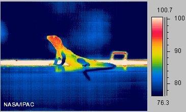 lizard6_ir